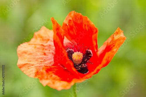 Poppy blossom full frame - 217031532