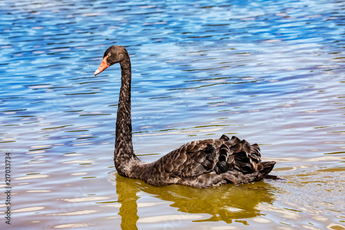 Canvas Zwaan Black swan in the water