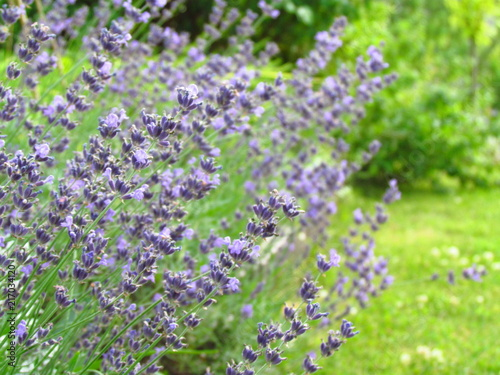 lavender#flower