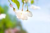 White sakura flowers on a spring cherry tree - 217039300