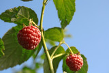 Raspberry fruit on the bush