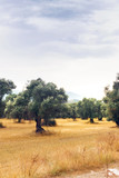 Landscape view of Olive field.. - 217054104