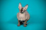 Don Sphinx kitten