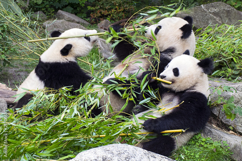 Canvas Panda Panda bears eating bamboo