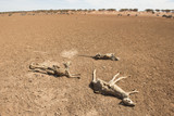 Sturt national park, New South Wales, Australia, dead kangaroos during  drought conditions. - 217072513
