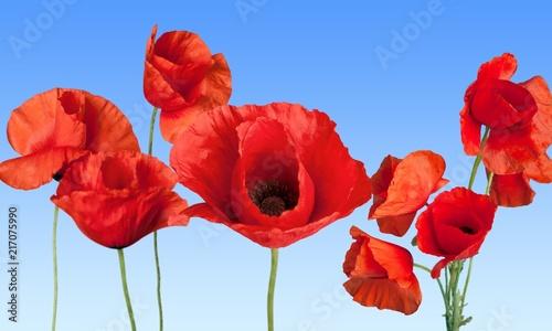 Poppy. - 217075990