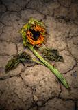 Dead sunflower on cracked ground - 217083586