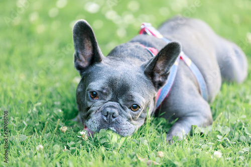 Canvas Franse bulldog Blue Male French Bulldog in a playful posture. Young Frenchie lying on the grass in an off leash dog park in Northern California.