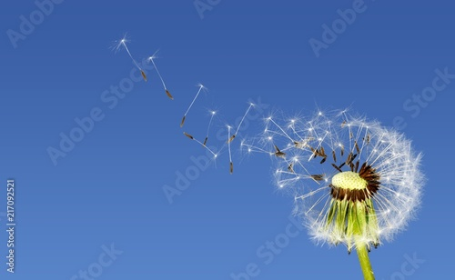 Canvas Paardenbloemen Flying dandelion seeds isolated over white