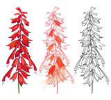 Vector set of outline bunch Salvia splendens or Scarlet sage flower and bud in pastel red and black isolated on white background. Drawing of Salvia in contour for summer design or coloring book. - 217094172