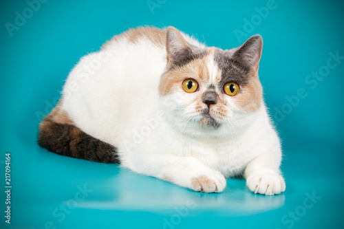 Foto Spatwand Kat photography of a British cat on colored backgrounds