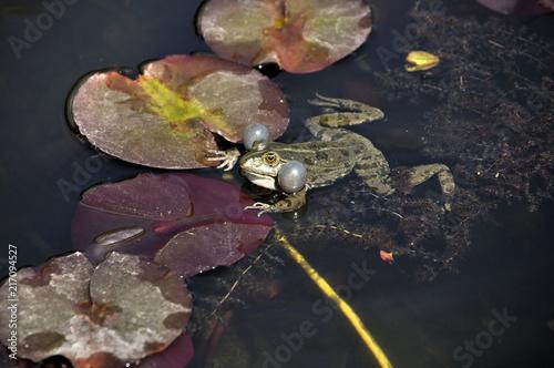 Foto Spatwand Kikker Frosch auf Brautschau