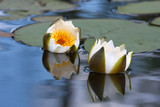 flower of water lily