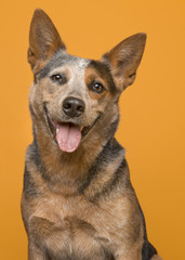 Portrait of an australian cattle dog smiling at the camera with mouth open en tongue out on an orange background © miraswonderland