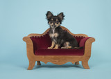 Cute chihuahua puppy sitting in a red sofa on a blue background