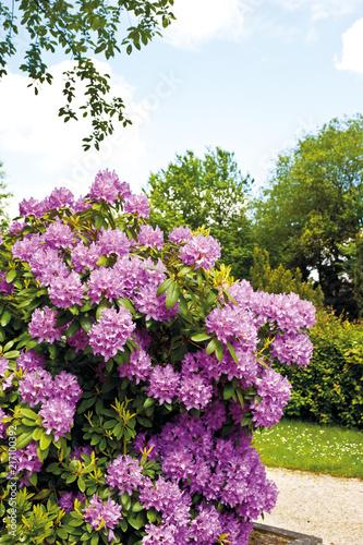 In de dag Azalea lila Azalee