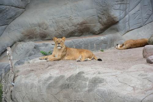 Foto Spatwand Lion Löwe auf Felsen