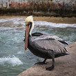 Quadro Pelican