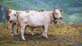 Cows in the high alps, austria