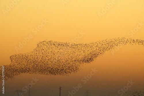 Canvas Oranje Flock of Black-tailed Godwit (Limosa limosa)