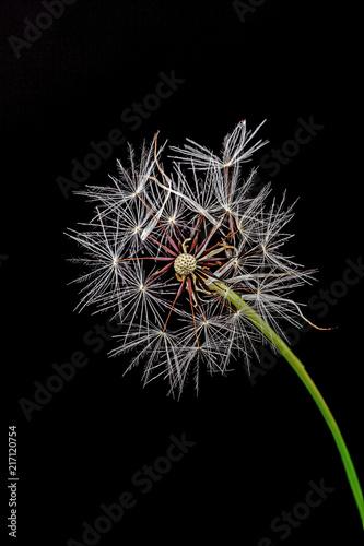 Foto Spatwand Paardenbloemen Blume