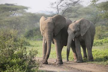 Afrikanische Elefant (Loxodonta africana) zwei Jungtiere nebeneinander © Aggi Schmid