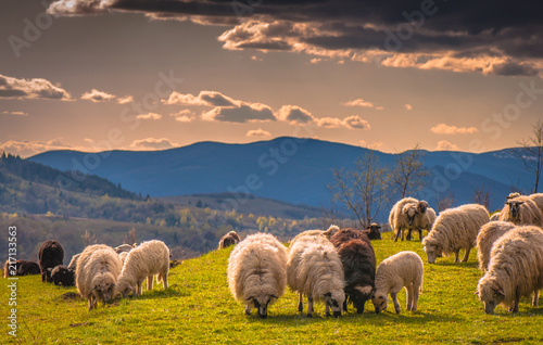 Foto Spatwand Honing Landscape with sheep in the Carpathians