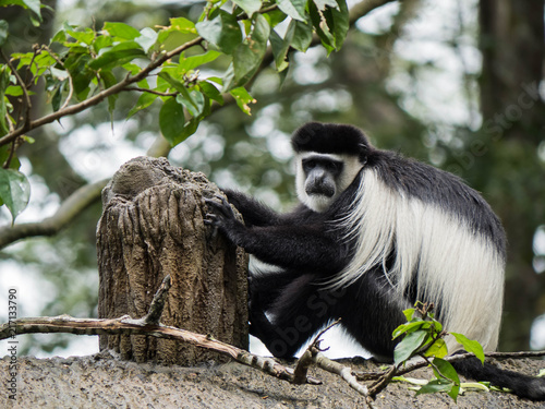 Foto Spatwand Aap Black and white Colobus Monkey