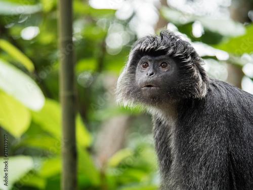 Obraz na płótnie Javan Langur Monkey