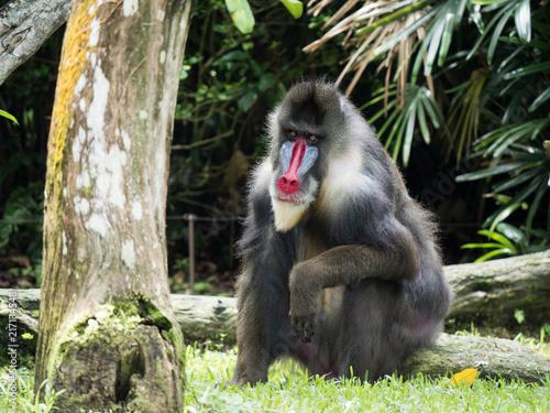 Poster Male Mandrill Monkey