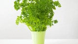 healthy eating, gardening and organic concept - green parsley herb in pot on table - 217136717