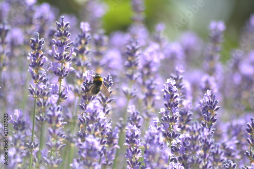 Foto Spatwand Lavendel Bienen und Blumen