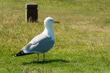 Closeup of a seagull resting on grass field on sunny day in summer - 1