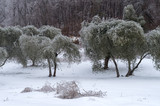 Olive grove covered in ice after the freezing rain - 217139743