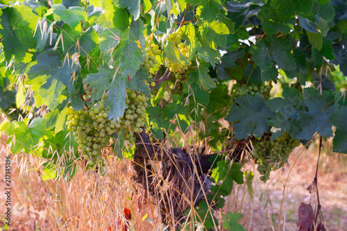 Foto Murales Picture of brunches of grape in  vineyards field at summer day
