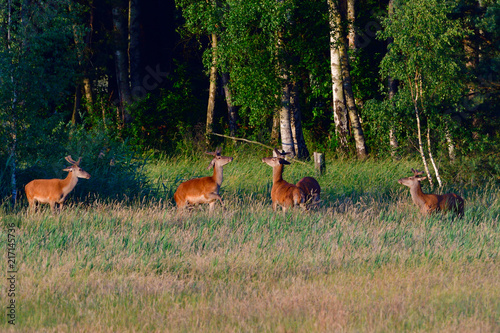 Canvas Hert Rotwild in der Morgensonne