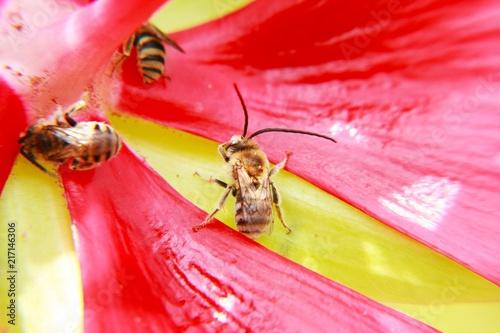 Foto Murales Un ape su un fiore