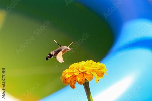 Foto Murales Hummingbird hawk-moth / Butterfly sits on a flower