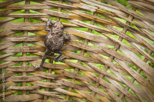 Foto Spatwand Kikker the frog climbs up the wicker basket