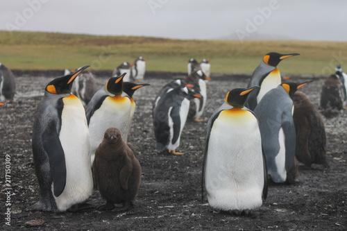 Foto Spatwand Pinguin Pinguine auf den Falklandinseln