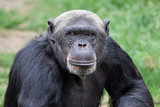 Chimpanzee close-up portrait
