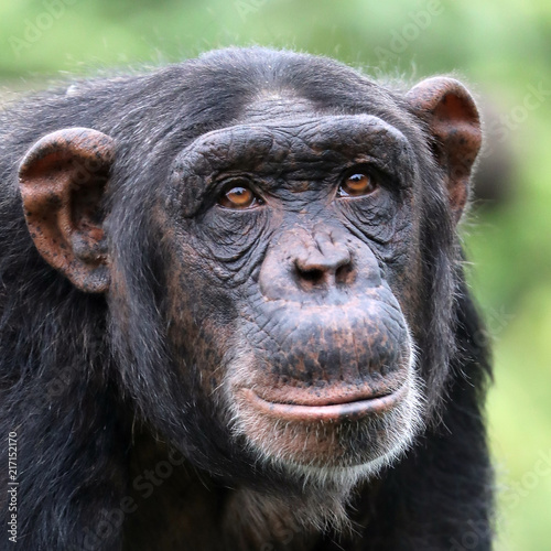 Foto Spatwand Aap Chimpanzee close-up portrait