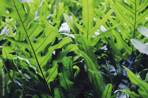 The wart fern of Hawaii or Maile-Scented Fern green leaves background - 217161713