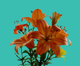 Lily flower . Isolation on a green background. A gift for women.