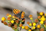 Small copper butterfly - 217168323