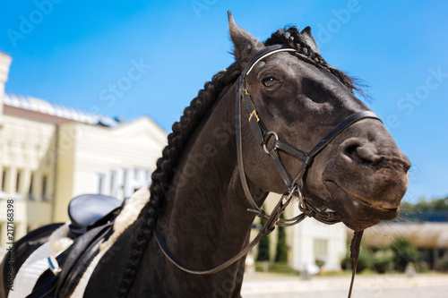 Canvas Paarden Dark-eyed horse. Black dark-eyed horse submissively standing on big race track before taking part in contest