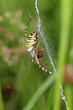 Tiger spider in web