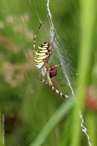 Canvas Tijger Tiger spider in web