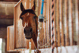 Spacious stable. Gentle beautiful brown racing horse standing in famous spacious stable outside the city
