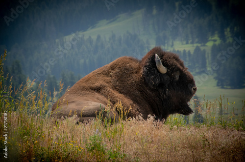 Canvas Bison Buffalo, Yellowstone National Park